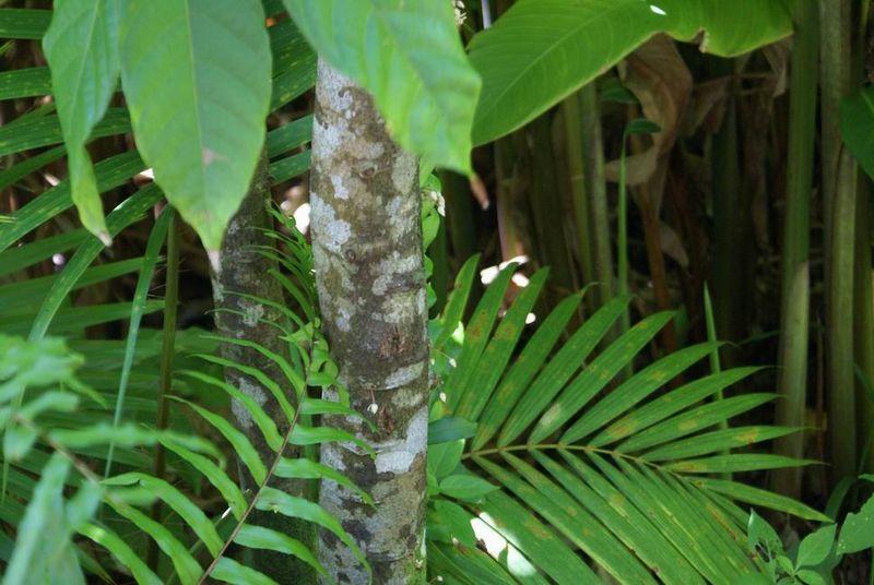 Fleur sur tronc de cacaoïer