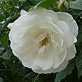 Les roses de jean-pierre et 24 heures photos