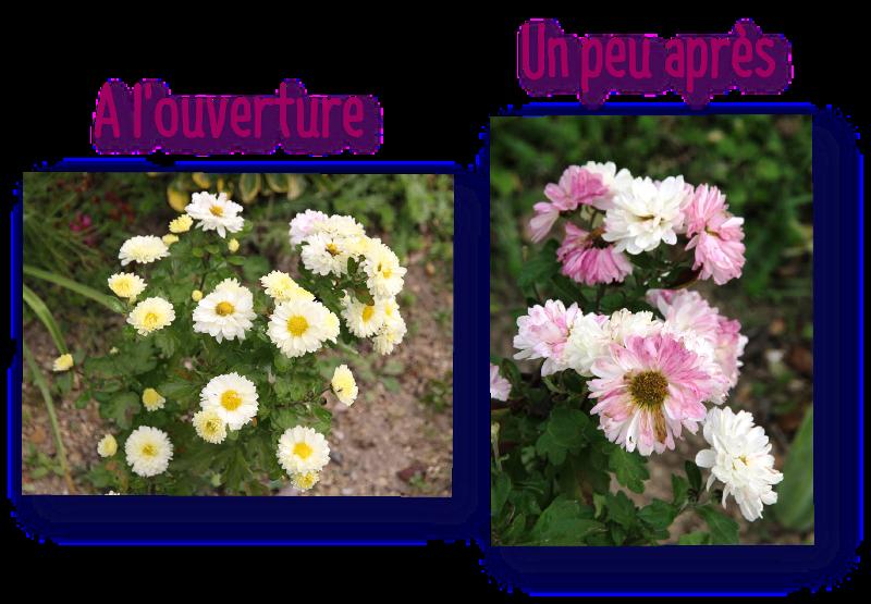 evolution de la couleur des fleurs du chrysanthemum indicum poesie
