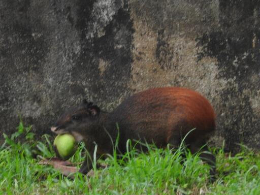 Agouti transportant une mangue