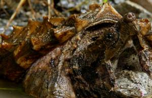 Tortuealligator