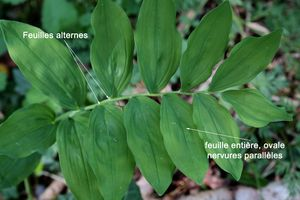 polygonatum_multiflorum_feuilles