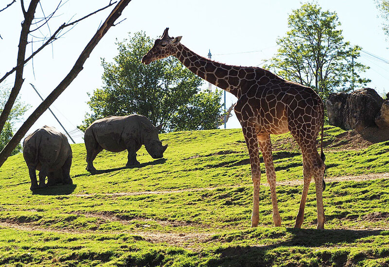 zoo-beauval-animaux-girafes-27