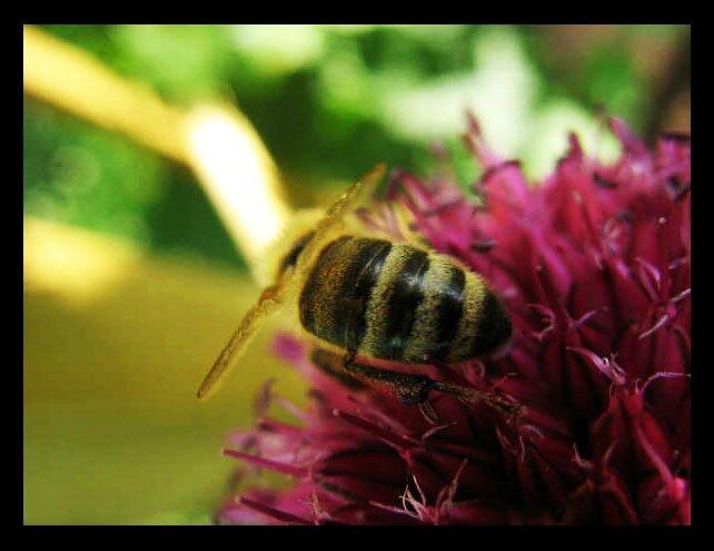 abeille-malos