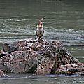 Anhinga roux (Anhinga melanogaster) - Epupa Falls Namibie