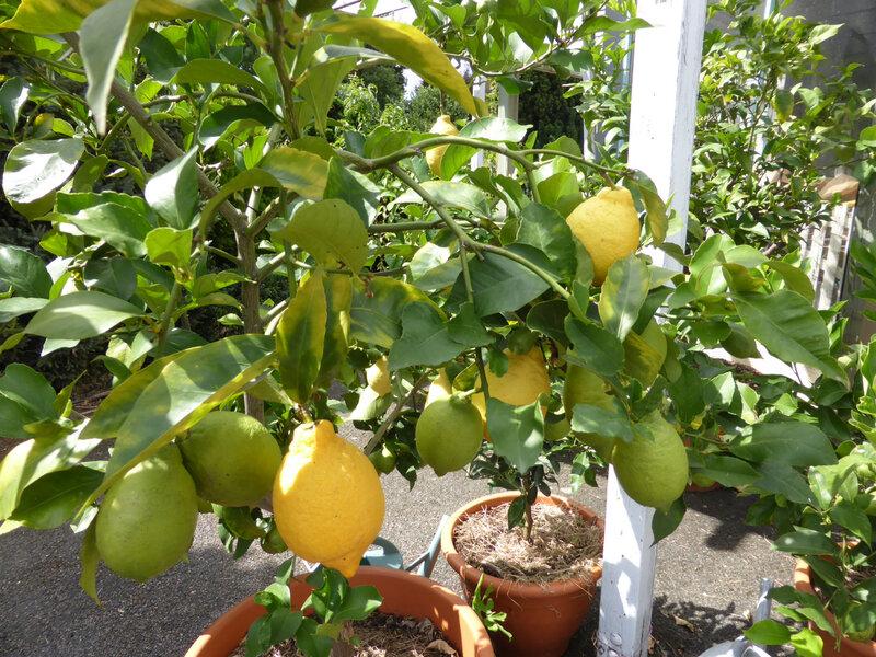 17-citrons, citronniers (4)