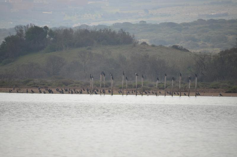 6 cormorans
