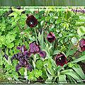 balanicole_2017_05_le printemps des tulipes_46_iris et ronaldo