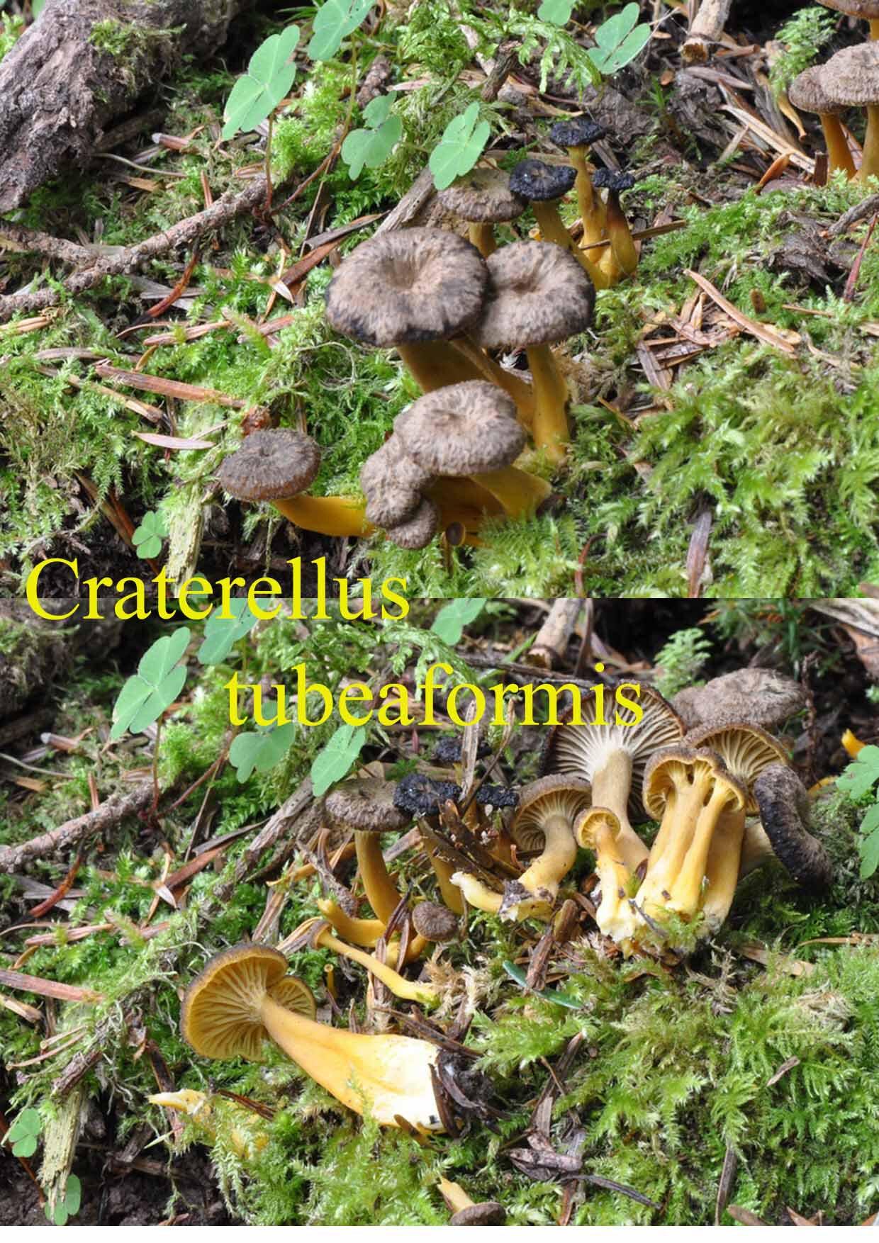 Craterellus tubeaformis