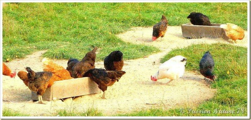 Poules et poulaillers (3)