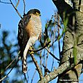 Épervier brun (accipiter striatus)