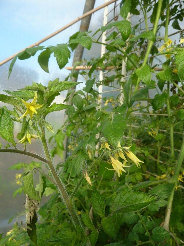 19-tomates serre (9)