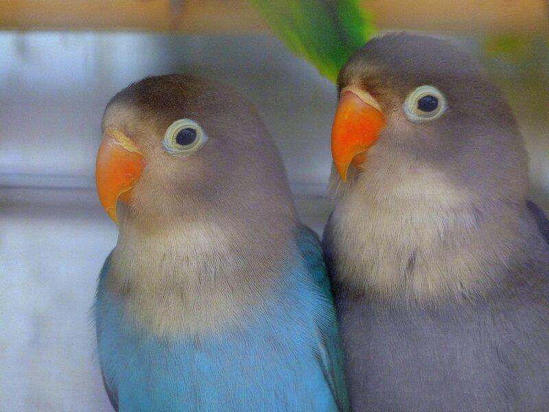 chez tropiflora les oiseaux de viviane (10)