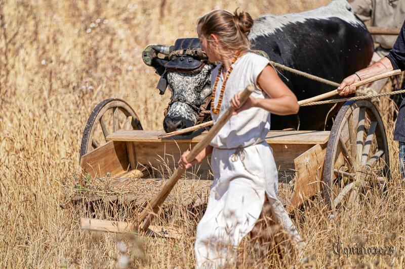 Reconstitution historique d'une moisson au vallus dans le village Gaulois de Saint Saturnin du Bois (9)