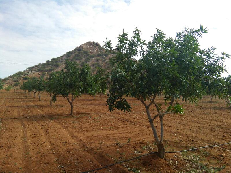 Champ de manguiers