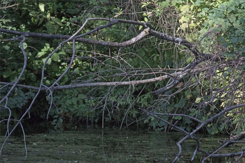 oiseau RG branchages rivière 080919