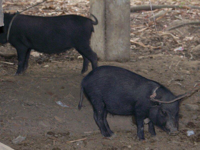 ils élèvent des cochons