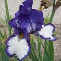 Iris Blanc et Bleu