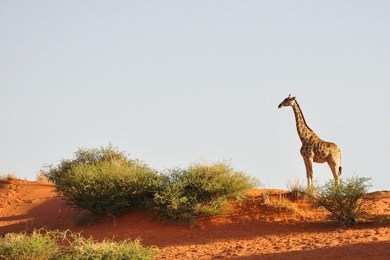 Girafe de l'Angola, désert du Kalahari, Namibie