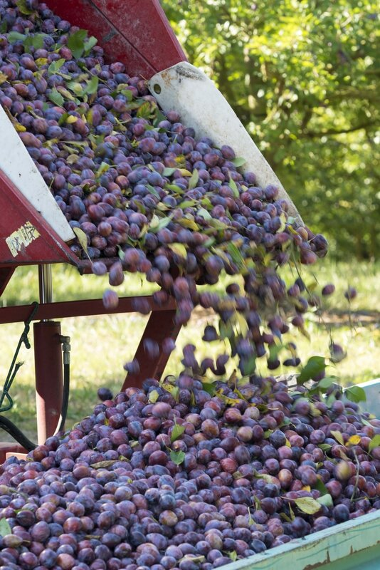 des prunes d'ente aux pruneaux (6)