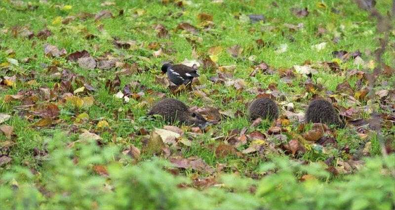 Ragondins famille herbe 241119 1 poule