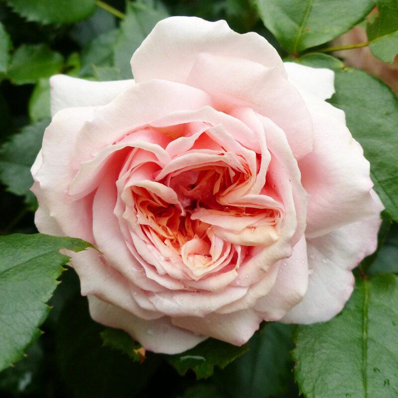 rose garden of roses (3)