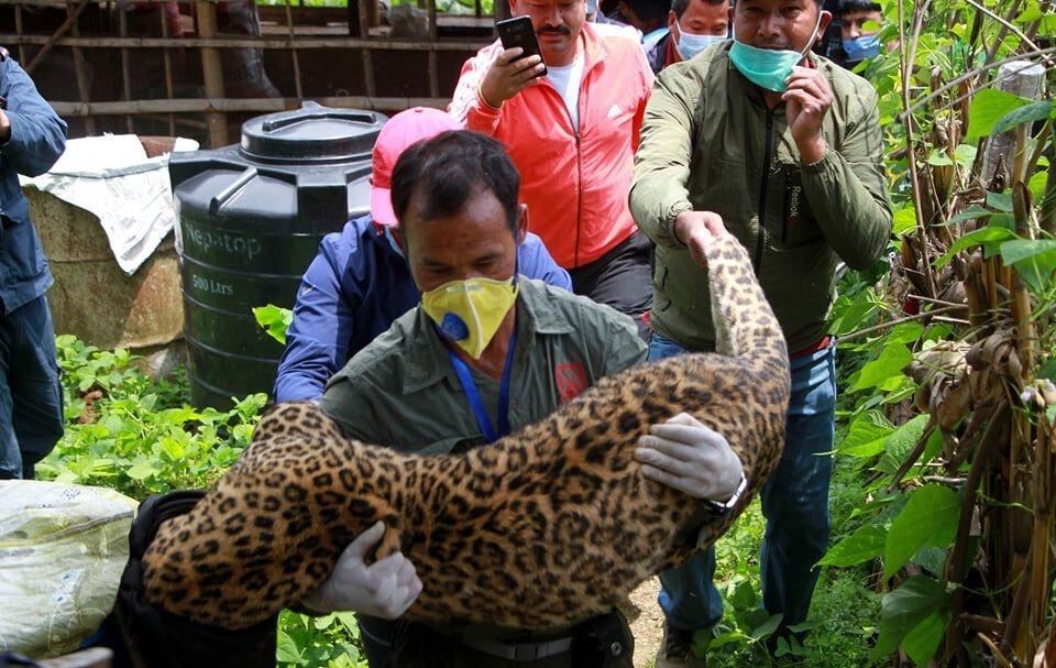 Un léopard dans la ville