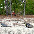 Deux iguanes