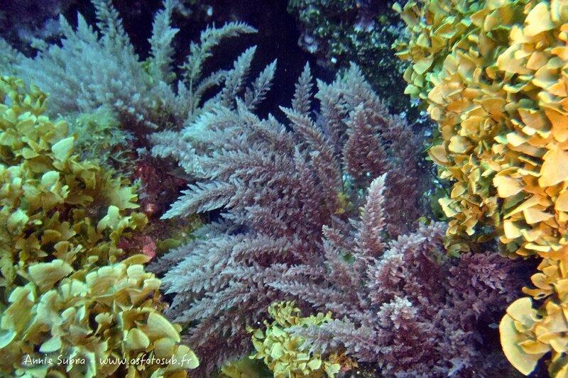 Algues à crochets