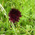 P1130524 Orchidée vanillé ou negritelle noiratre