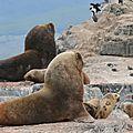 Lions marins Canal de Beagle