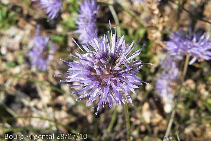 fleurs bleues réunies en tête globuleuse de 15-25 mm