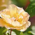rosa tequila gold