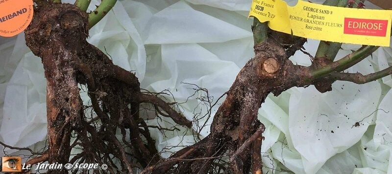Rosiers-racines-nues