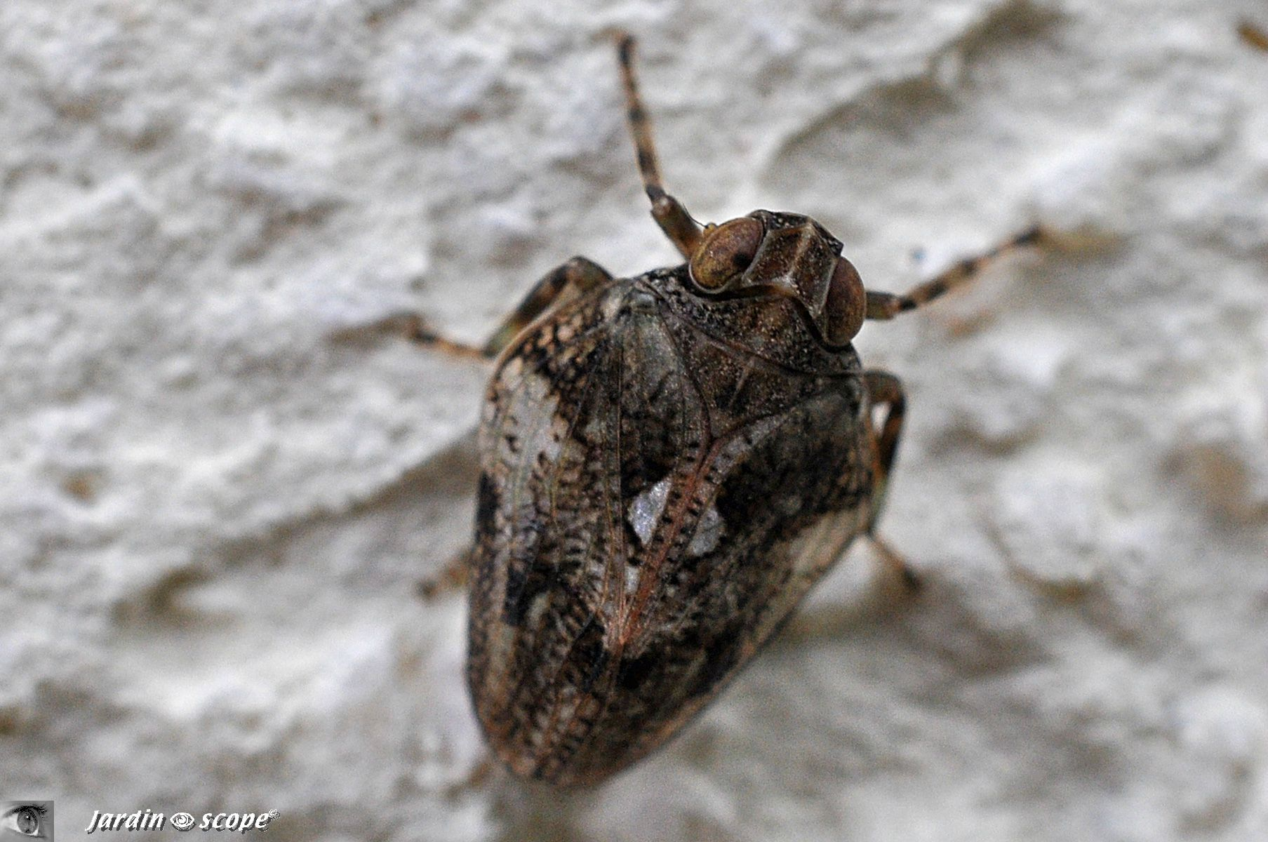 Cigale bossue • Issus coleoptratus • famille des Issidae