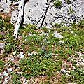 Chardon Bleu des Pyrénées, eryngium bourgatii...