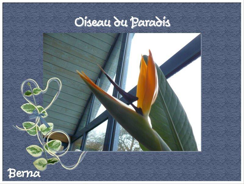 Berna-oiseaux de paradis