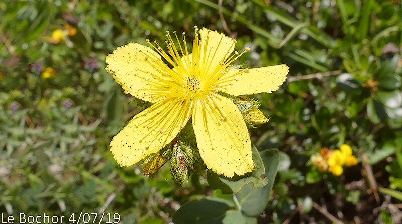 Hypericum richeri subsp