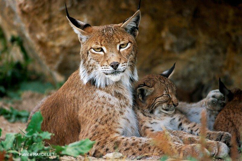 Patrice RAYDELET lynx boréal femelle et son chaton