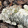 Trichaptum abietinum (2)