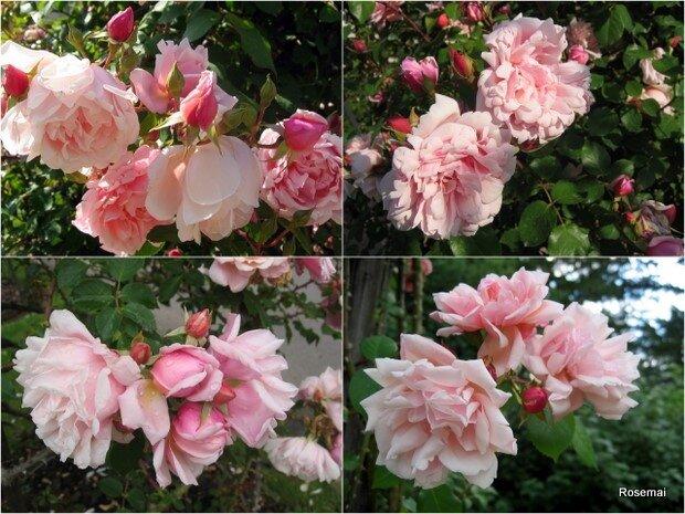 Rose ancienne : 'Albertine'