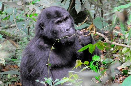 Gorille_de_montagne__parc_de_Bwindi__Ouganda__2_