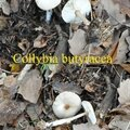 Collybia butyracea