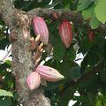 Cabosses de cacao