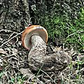 Leccinum aurantiacum (2)