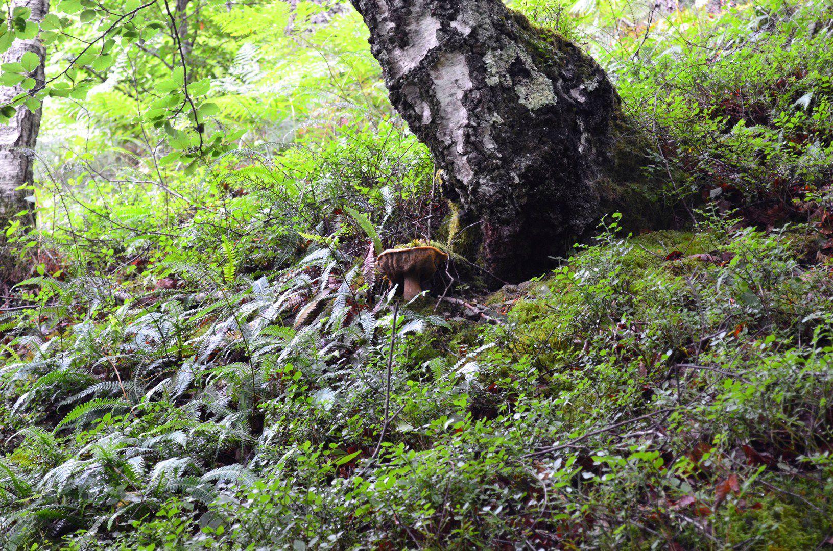 Vieux cèpe d'été au pied d'un bouleau