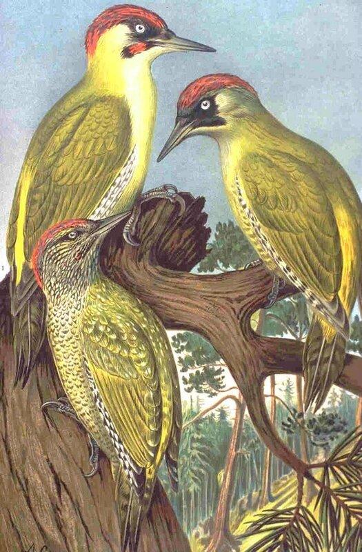 Picus viridis - Green Woodpecker