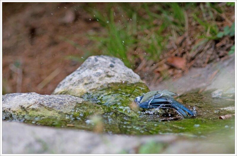 ville JP mesange bleue bain 2 040916