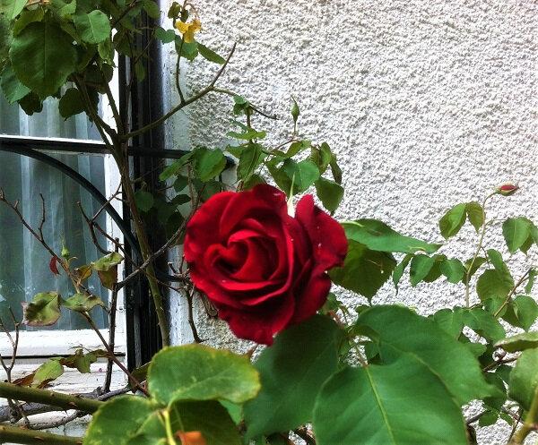 fleurs roses 3