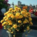 De vrais faux crysanthèmes !!!!